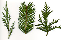 Junipers, left, have awl-shaped leaves, Douglasfir, center, have needle-like leaves, and arborvitae, right, have scale-like leaves.