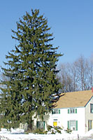 Norway spruce grow much too big for all but very large properties!