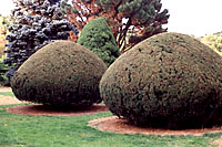 Yews are very tolerant of harsh shearing into myriad interesting shapes!