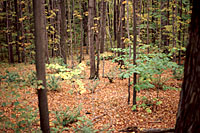 Leaves on the forest floor gradually decay, returning valuable nutrients and organic matter to the soil.