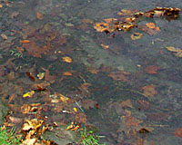 Leaves washed into catch basins often end up in our streams, rivers and lakes.