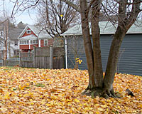 Norway maple leaves are notorious for now dropping until very late in the fall and are often brought down by the first heavy snowfall.