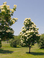 Japanese tree lilac blooms right at the end of June in Central New York.