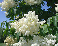 The fragrance of the creamy-white flowers of Japanese tree lilac is not like that of other lilacs.