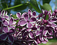 The white-edged flowers of Sensation lilac are one-of-a-kind!