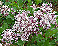 The icy blue flowers of dwarf Korean lilac are lightly fragrant.
