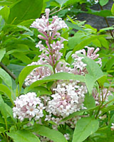 James Macfarlane lilac bears light pink flowers from late May throguh the first week or so in June.