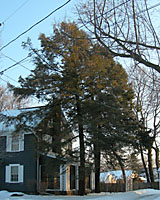 Often planted at the corners of homes, hemlocks hrow into very large trees!