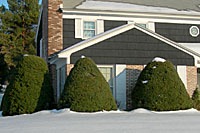 Most junipers become much too large for use in foundation plantings.