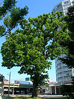As testimony to the durability of some trees, this bur oak near the heart of downtown Syracuse is estimated to be in the vicinity of 150 years old!