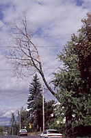 Dead limbs and branches should be removed whenever they're observed.