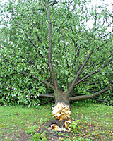 This mature linden snapped off at the point where a girdling root had constricted the trunk.