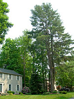 Having this huge white pine growing off the corner of my home would freak me out!