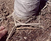If cording isn't cut at time of planting, it will eventually strangle the tree as it grows!