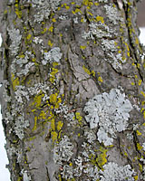 The gray and yellow-green growths on the trunk of this tree are harmless lichens.