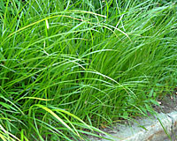 If left undisturbed, the grass-like leaves of yellow nutsedge can grow two feet tall by the end of June.