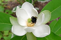 Even bumblebees can't resist the blooms of sweetbay magnolia.