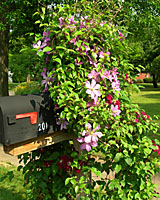 June-blooming clematis and mailboxes go together like bread and butter!