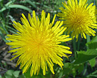 Dandelions may have met their match in the form of maple leaves!