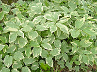 Many people simply can't resist the variegated form of goutweed.