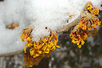 The `Jelena' witchhazel in our backyard is often in bloom by the end of January. When it gets bitter cold, the spider-like petals curl up.