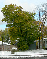 Most Norway maples were still in full leaf when the first measurable snow of the year fell on November 16th.